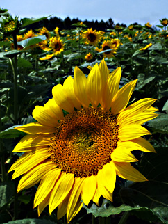 sun flower in Tokachi